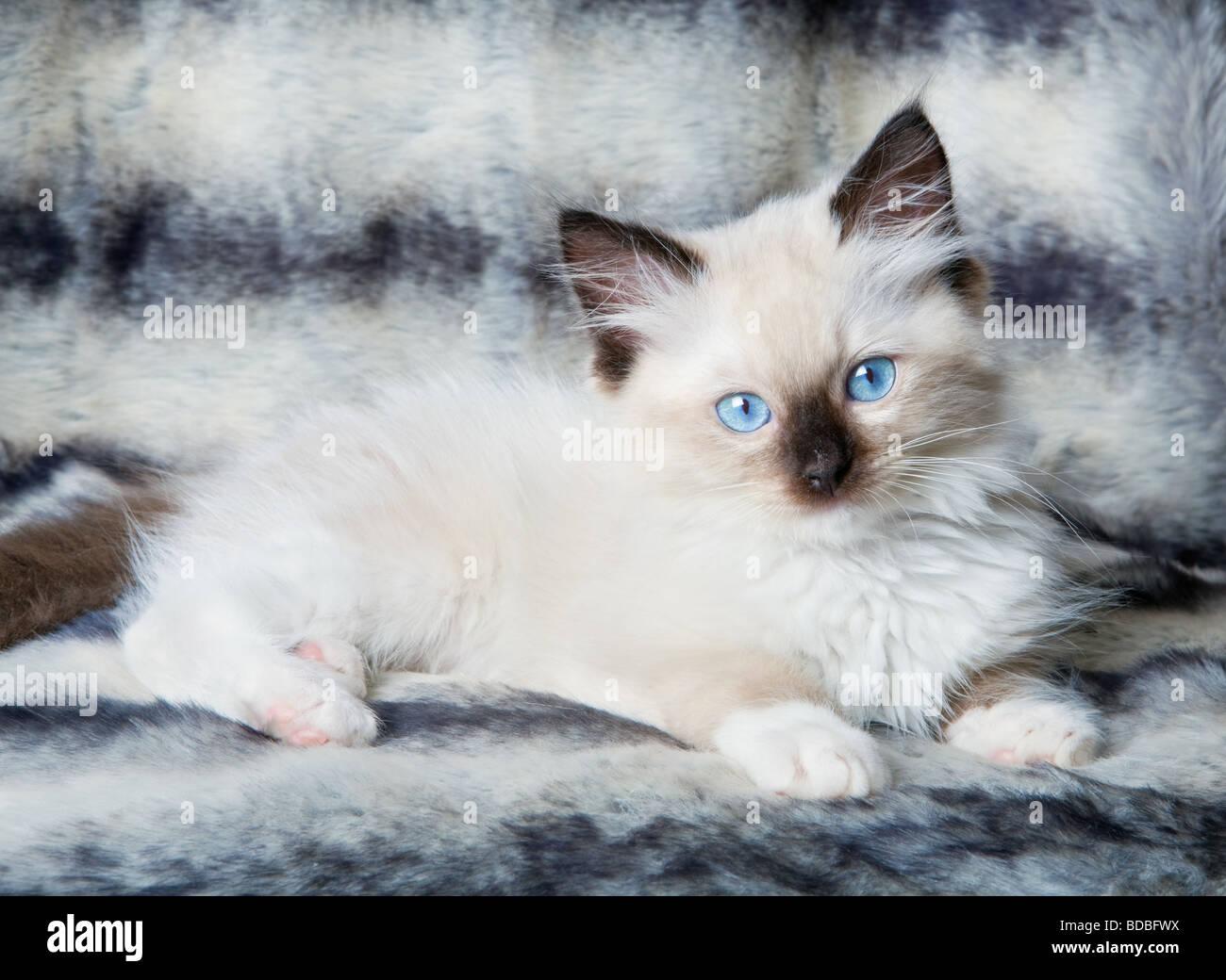 half siamese cat personality