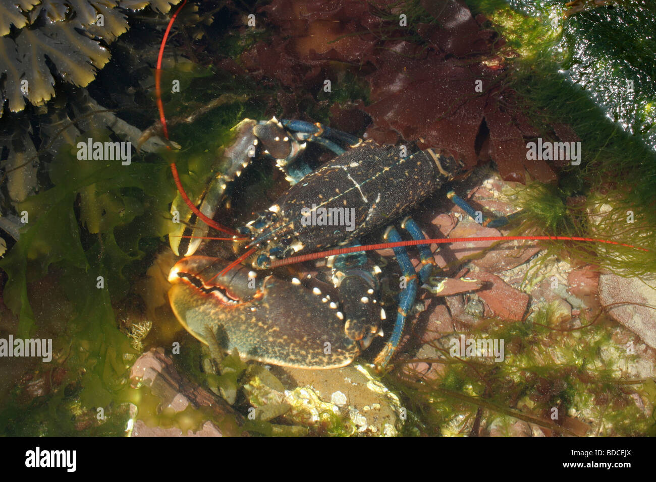Common lobster Homarus gammarus Nephropidae in a rock pool at low Stock Photo: 25475826 - Alamy