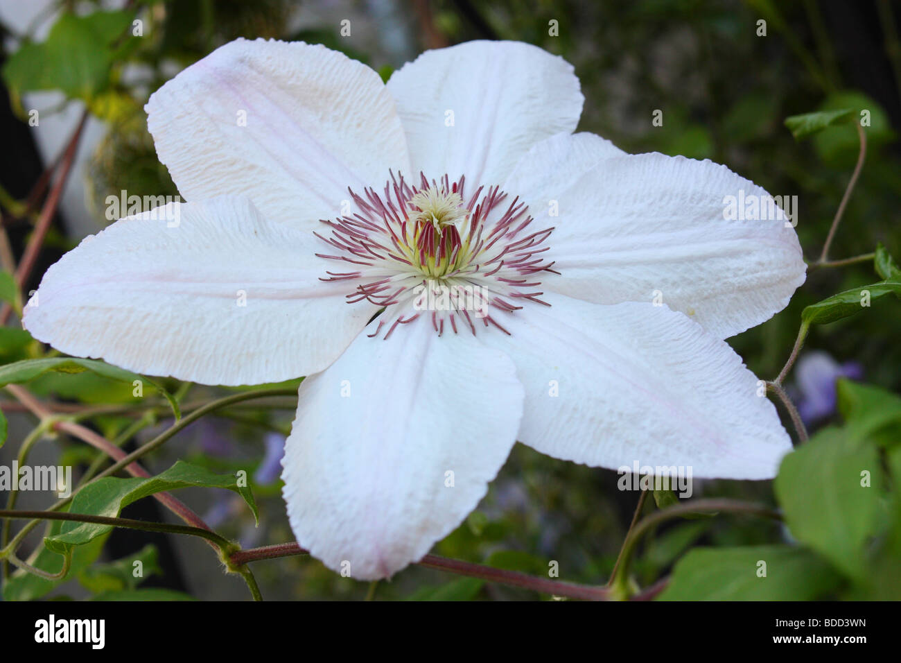 White flower farm clematis choice image flower decoration ideas fantastic white flower farm clematis component images for wedding beautiful white flower farm clematis pattern images mightylinksfo