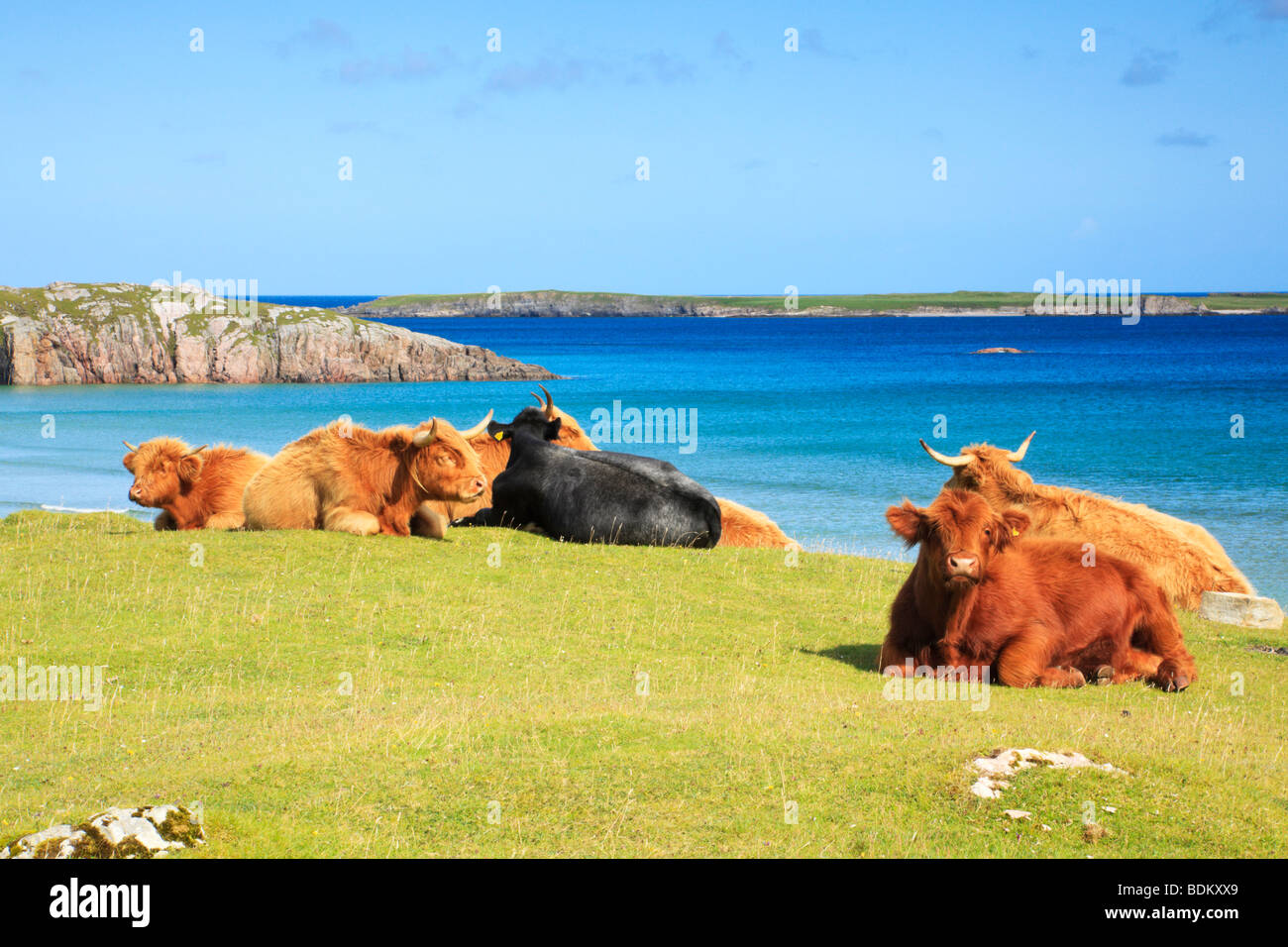 highland-cattle-with-sea-views-behind-at