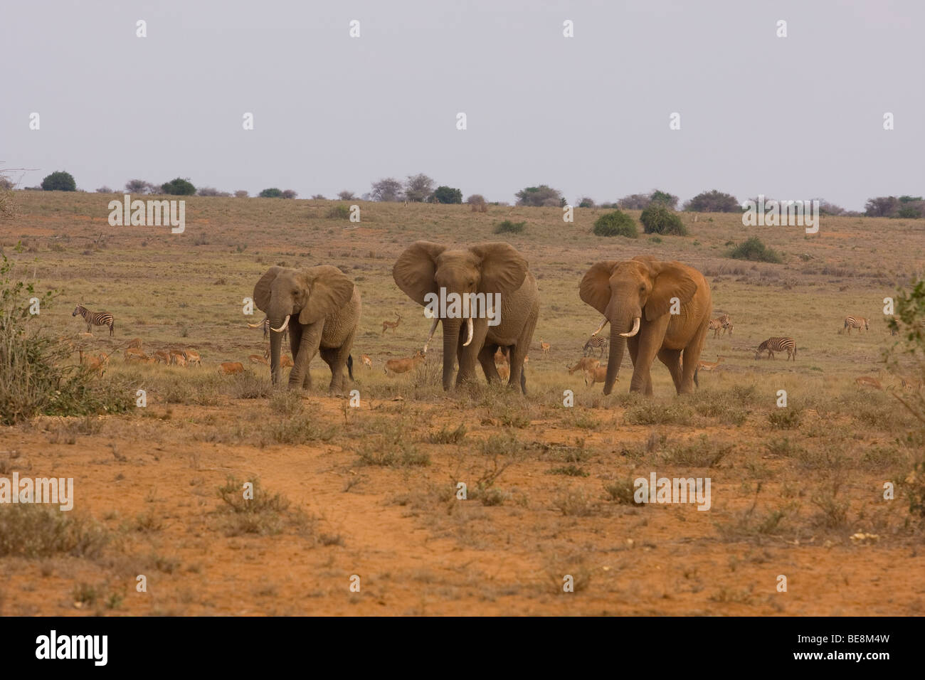3 different sized elephants walking together in a line