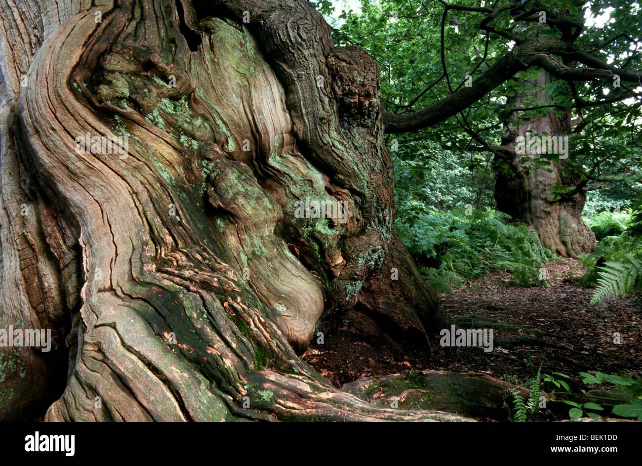 Old oak in woodland of Sherwood Forest, Nottinghamshire, UK Stock Photo