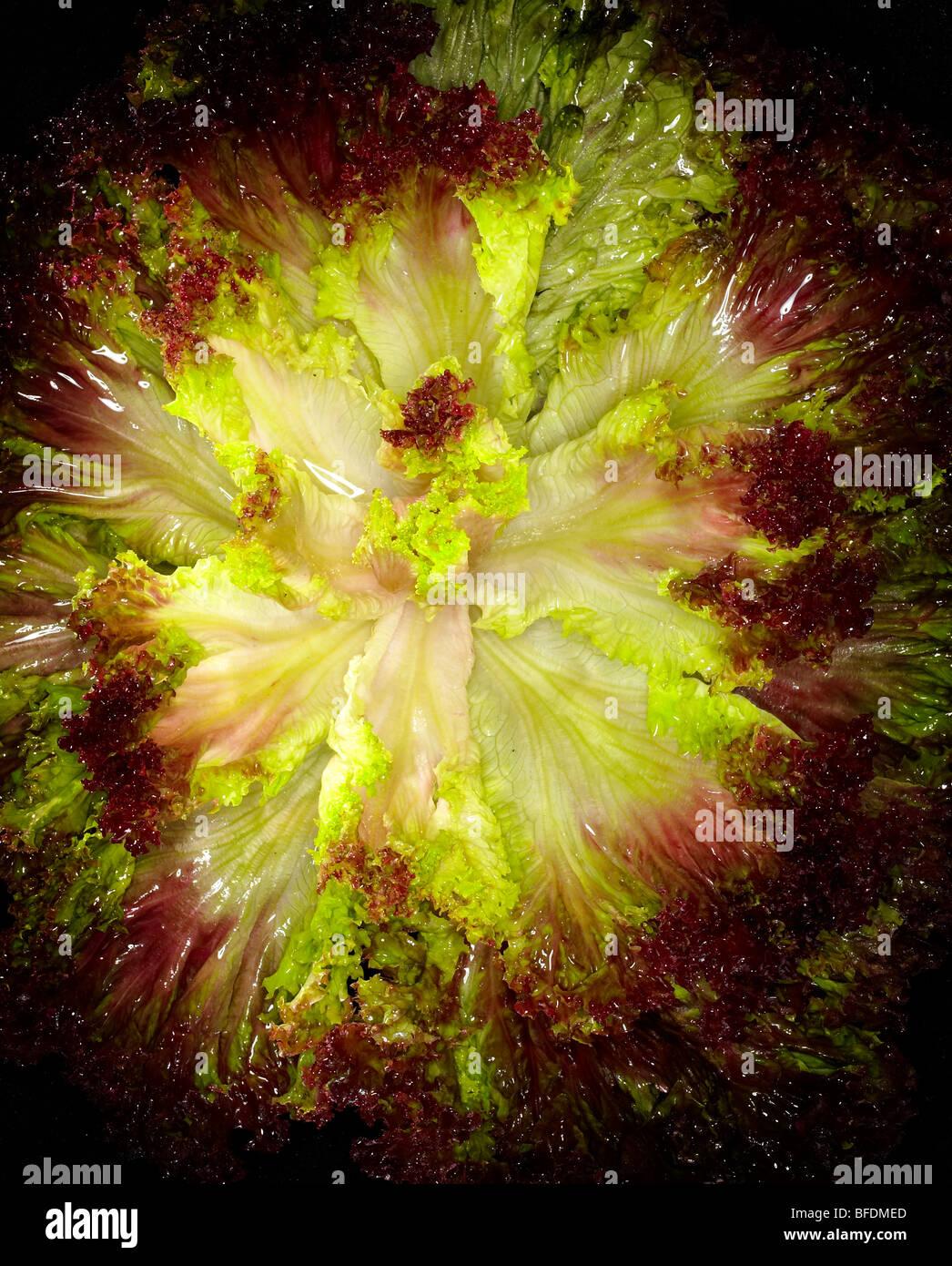 Lettuce Stock Foto