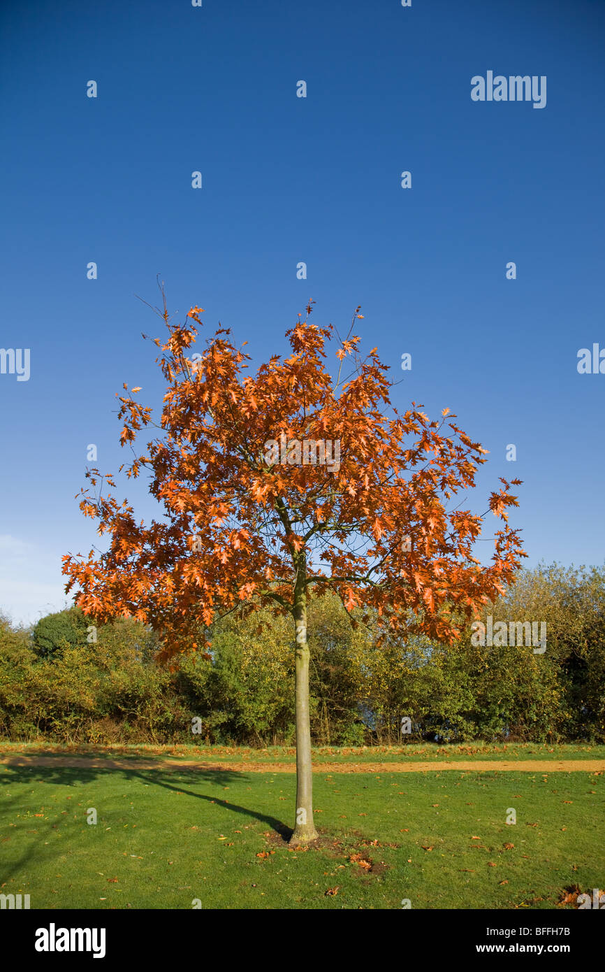 young-oak-tree-in-autumn-milton-country-