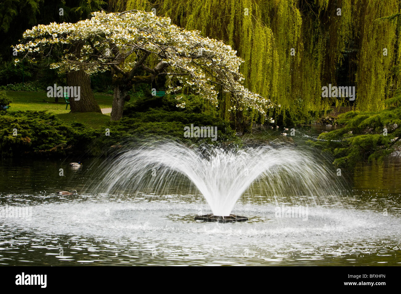 Japanese Cherry Tree And Fountain In Beacon Hill Park Pond Victoria Stock Photo Royalty Free