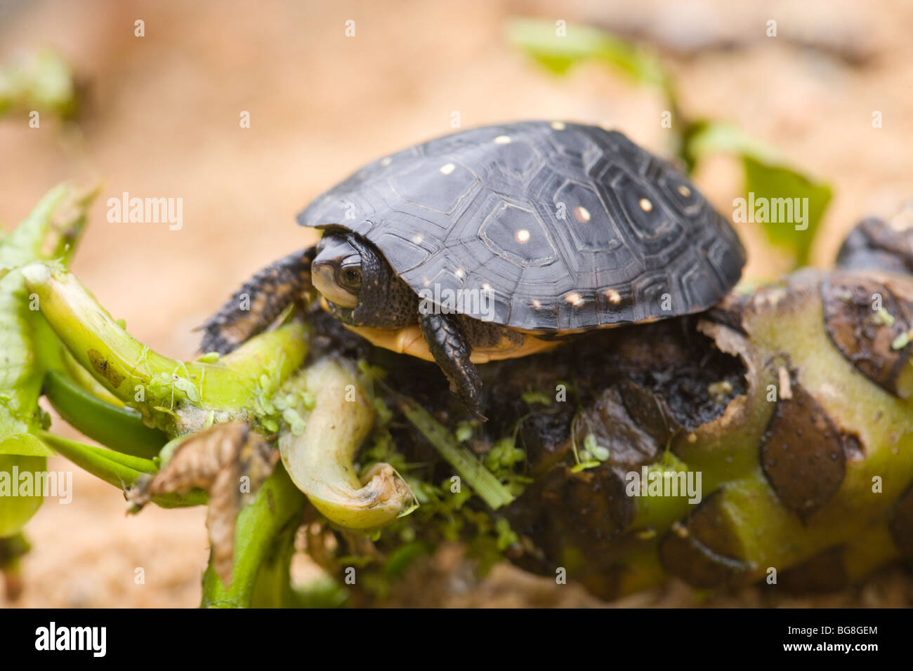 north-american-spotted-turtle-clemmys-gu