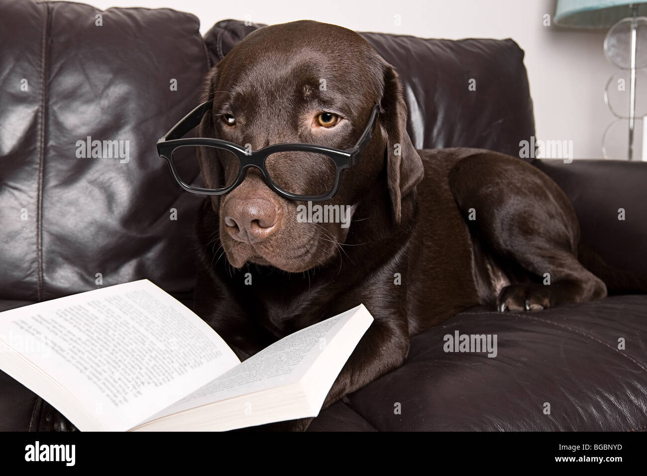 Funny Shot Of A Chocolate Labrador With A Good Book On The
