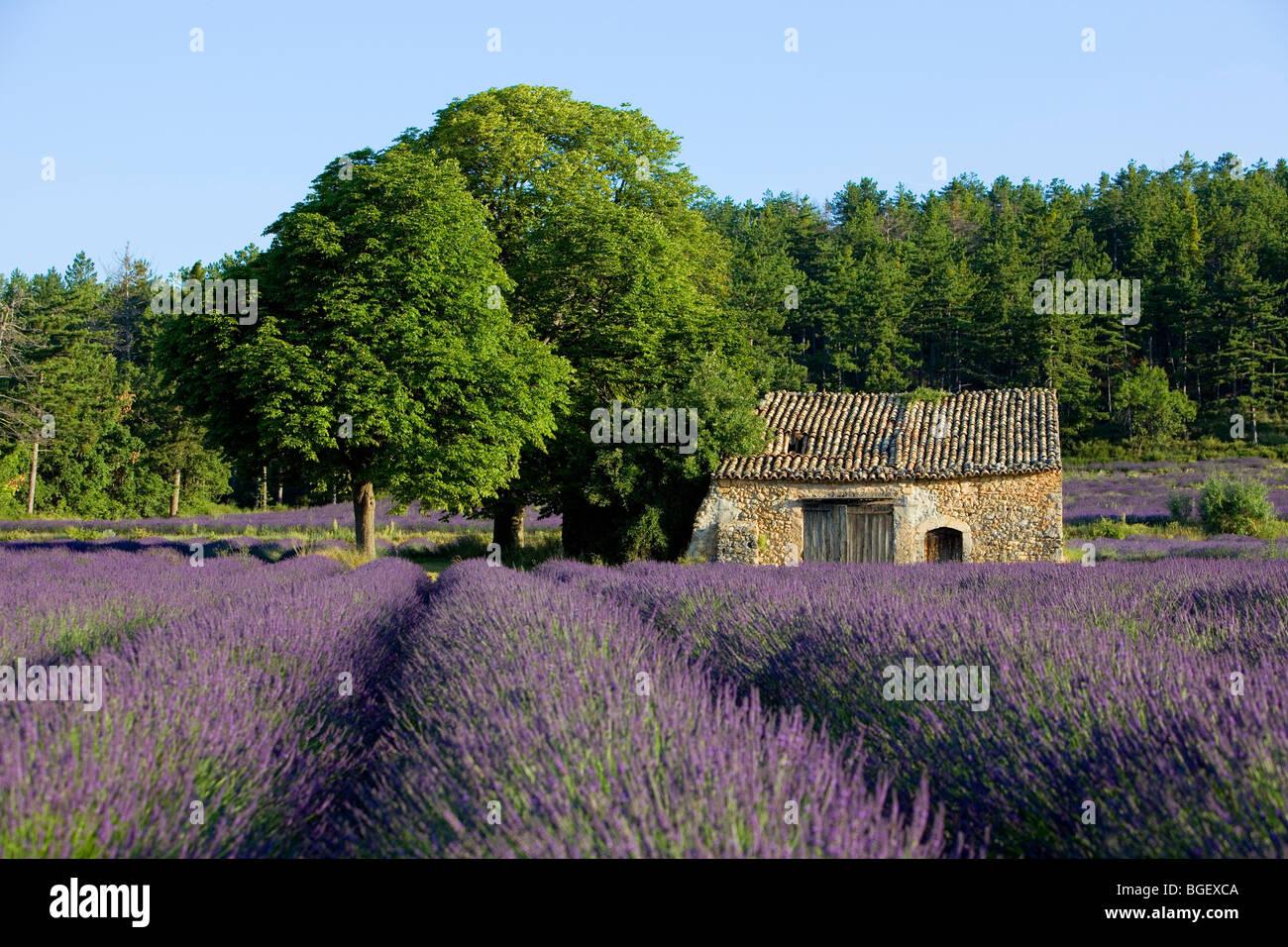 Cabanon lavender of provence valensole r gion alpes de for Haute provence