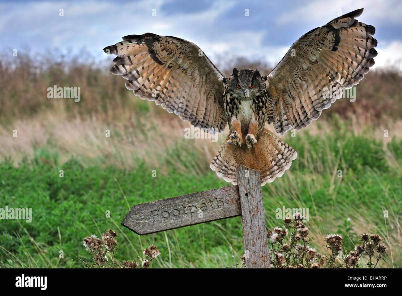 eurasian-eagle-owl-bubo-bubo-landing-wit