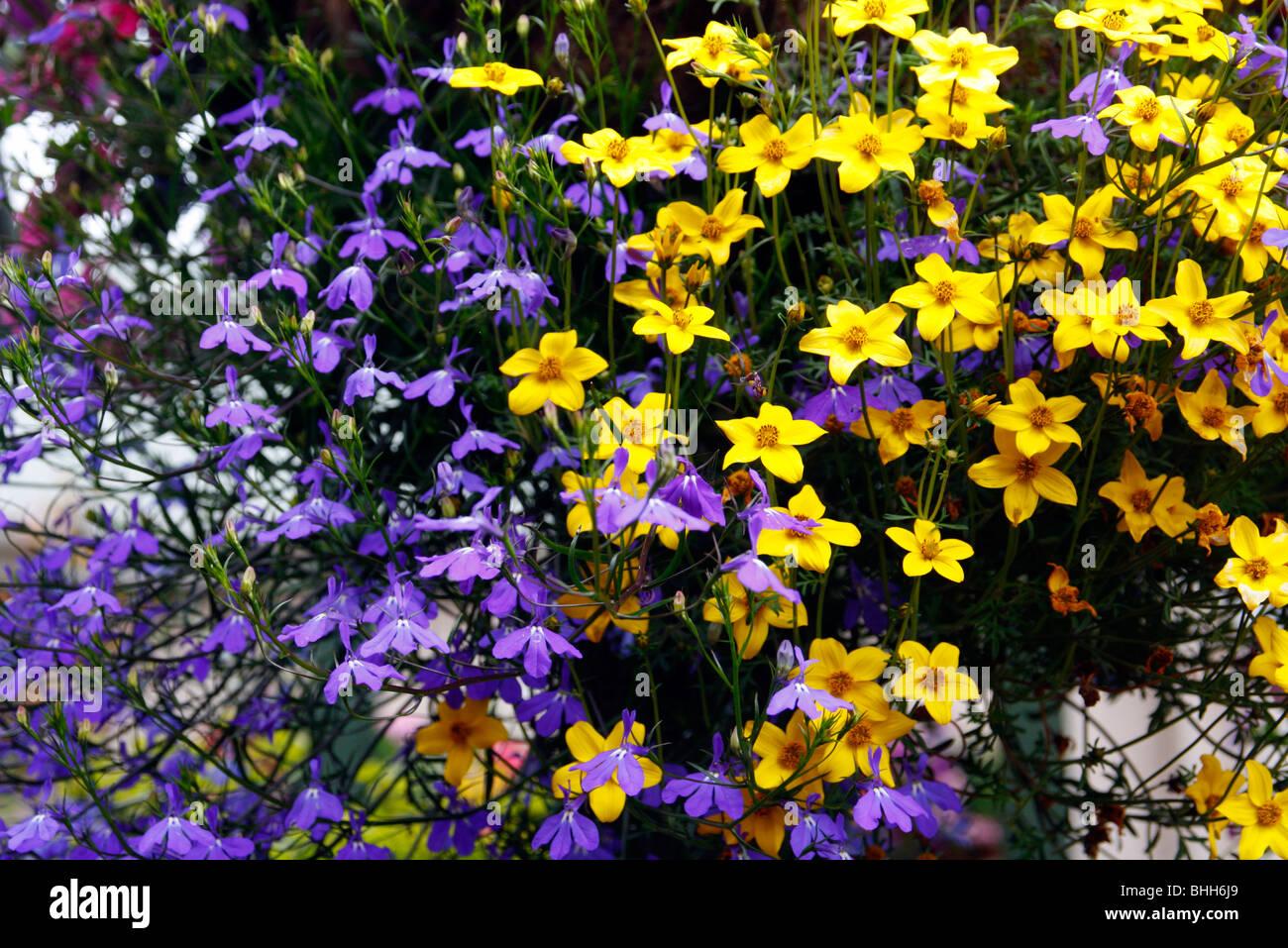 Combinations of flowers in hanging baskets: Bidens ...