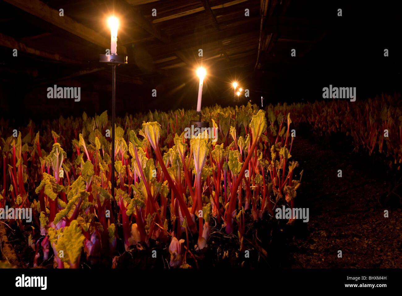 Rhubarb being forced under candlelight Stock Photo