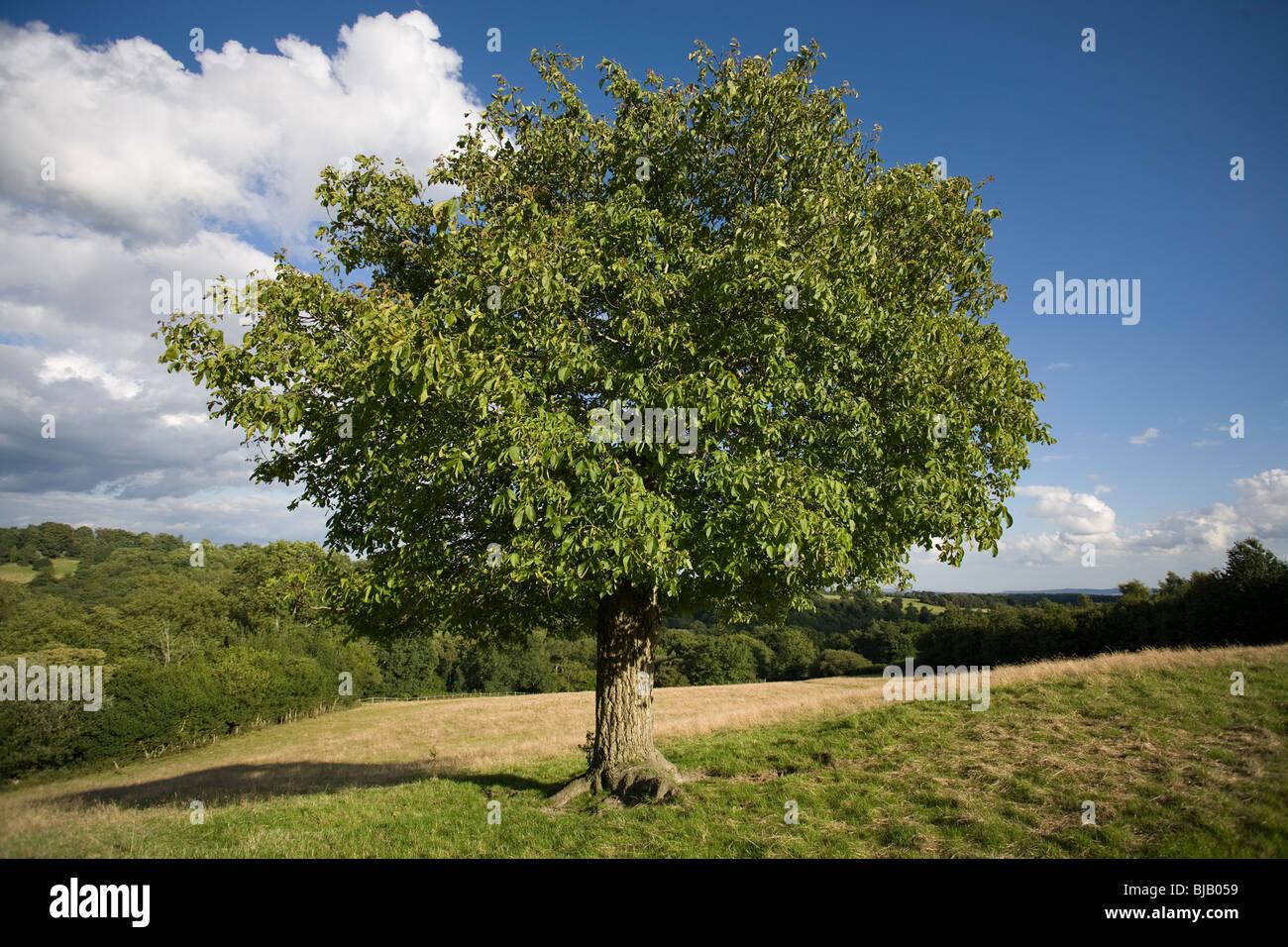 walnut tree juglans regia sussex uk stock photo royalty free image 28515797 alamy. Black Bedroom Furniture Sets. Home Design Ideas