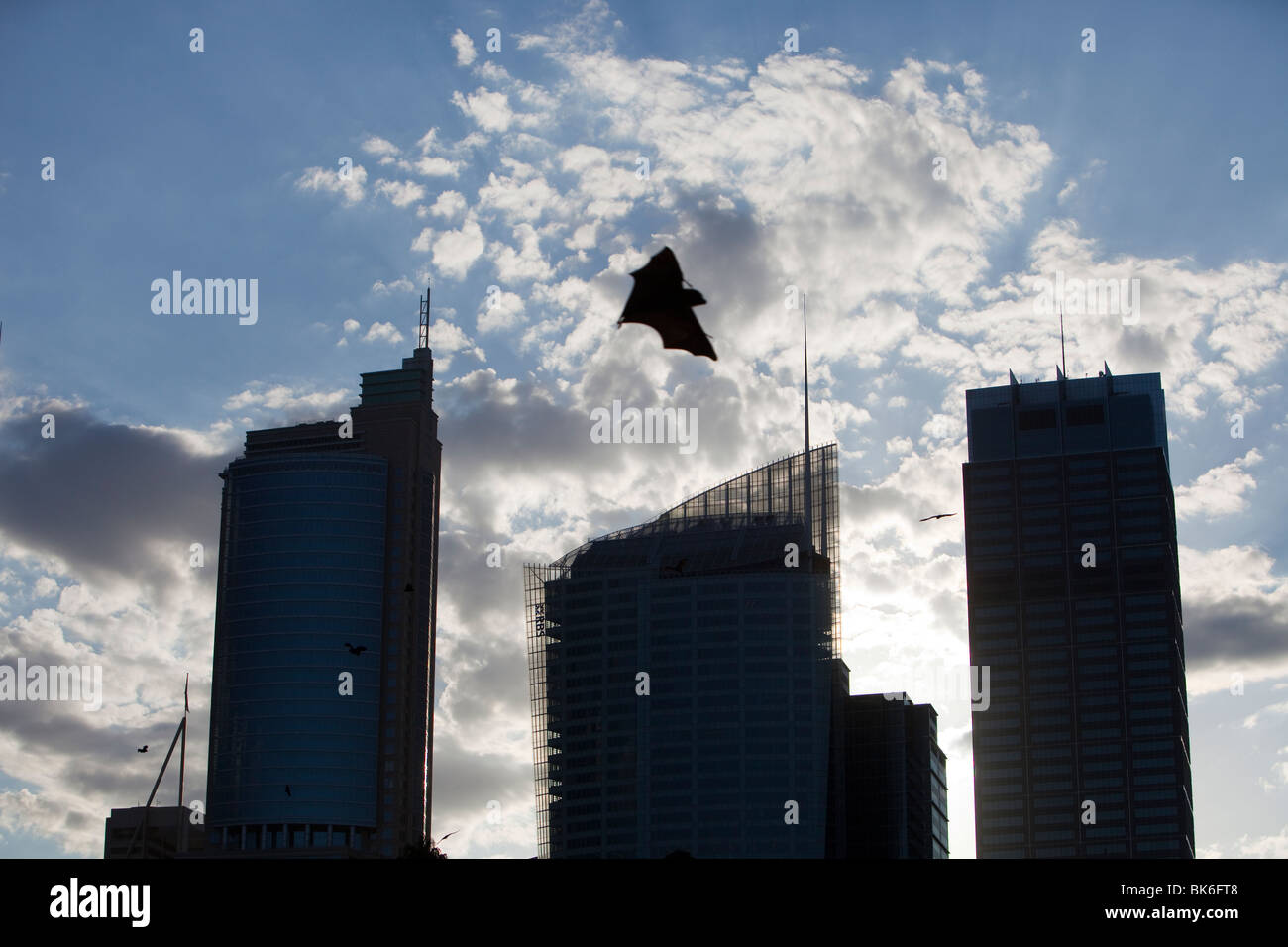 Fruit bats flying in front of Sydney city centre tower blocks, Australia. Stock Foto