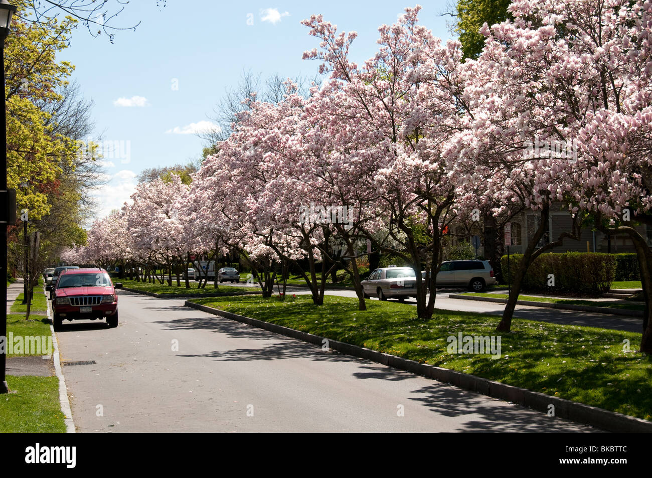 Street With Magnolia Trees Stock Photo  Royalty Free Image