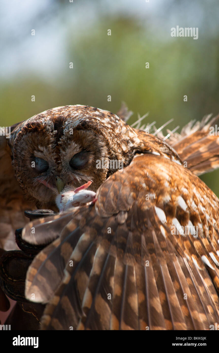 a-tawny-owl-strix-aluco-swoops-onto-a-wh