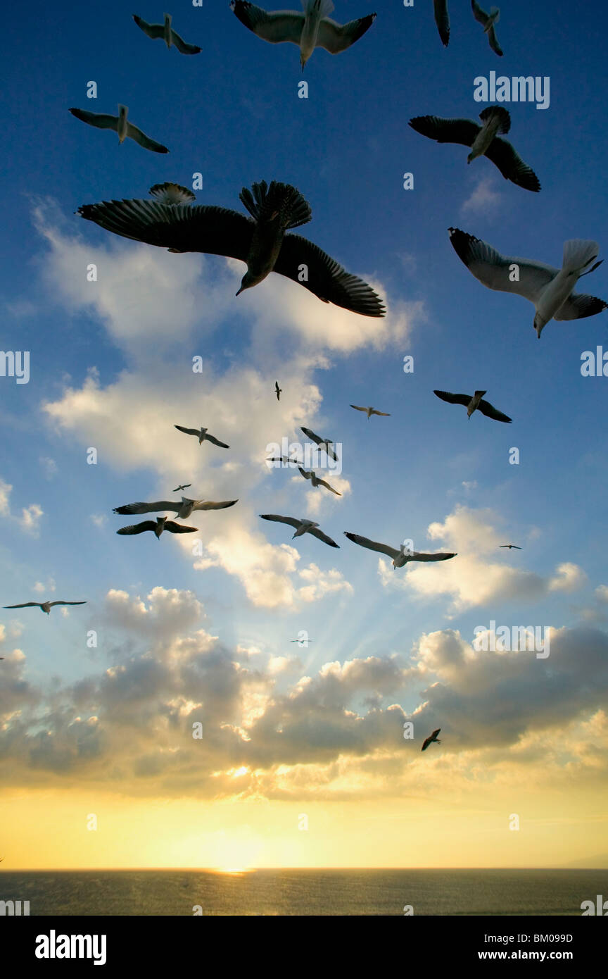 Seagulls flying over the Pacific Ocean sunset Stock Photo