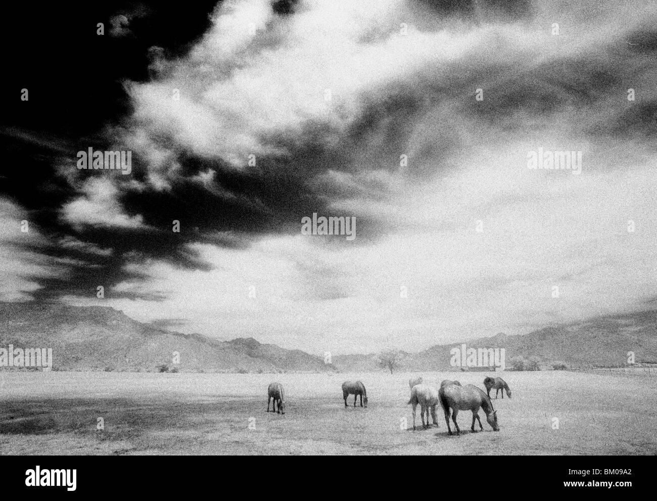 Horses grazing in the mountains of California Stock Photo