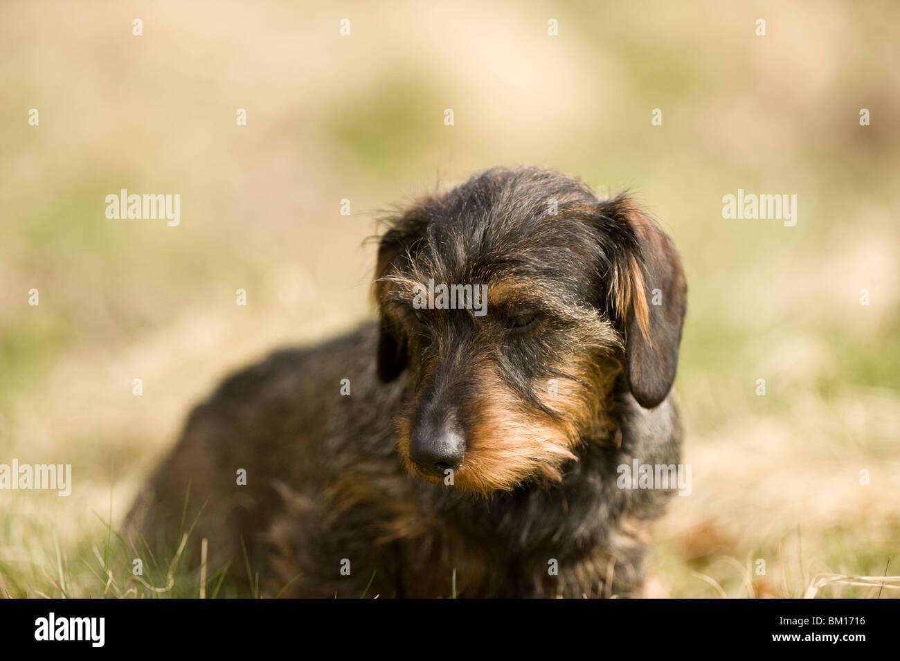 Dachshund Hunting Dog Video