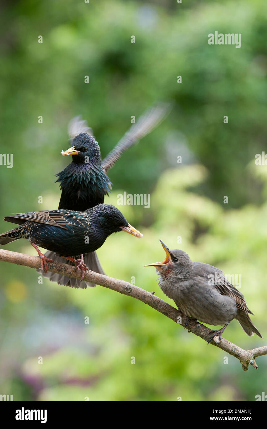 Baby Starling Food