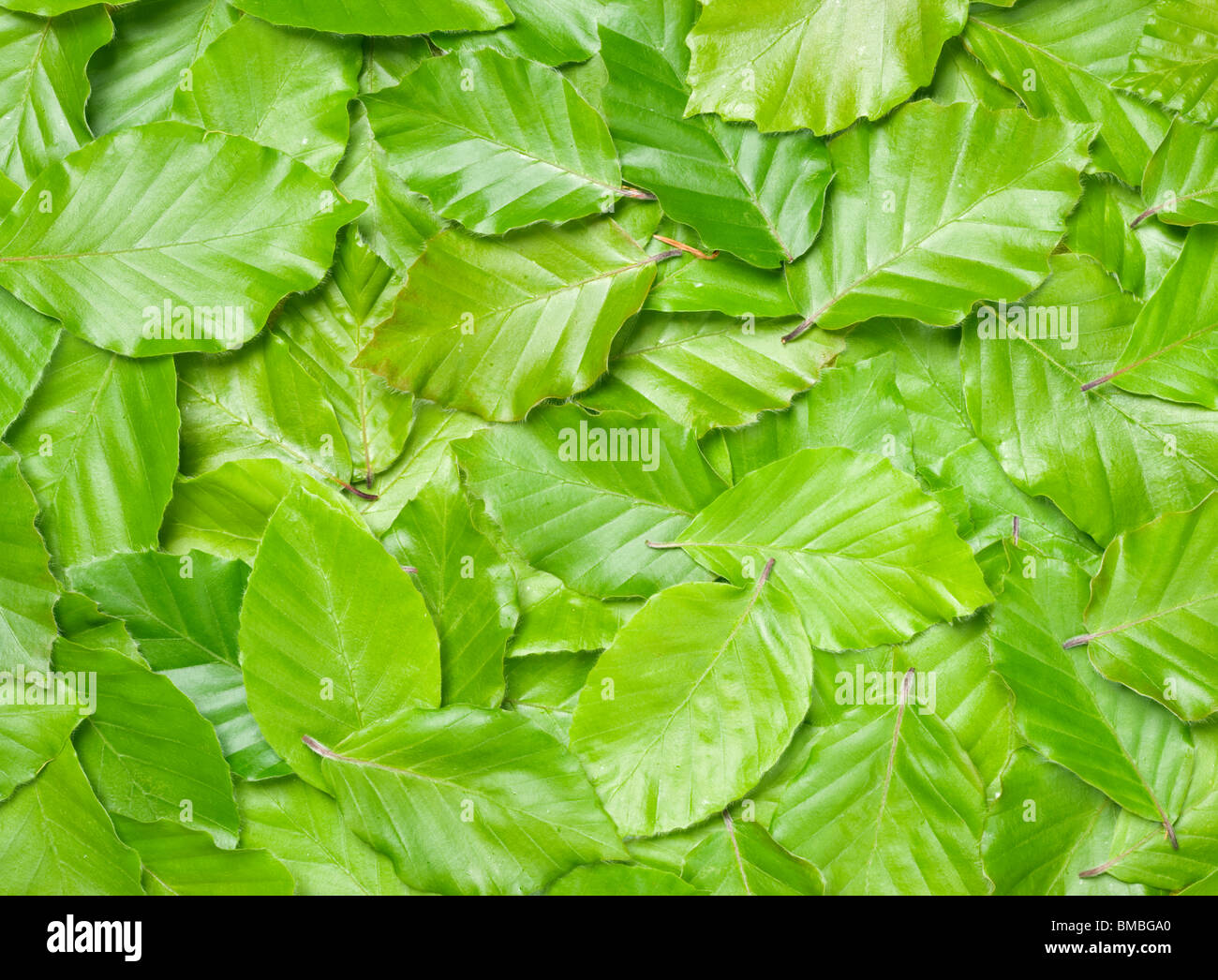 Beech leaves, Fagus sylvatica. Stock Foto
