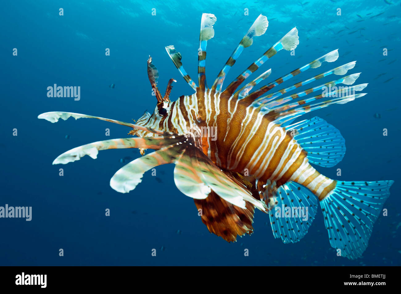 Lionfish.  Egypt, Red Sea. Stock Foto
