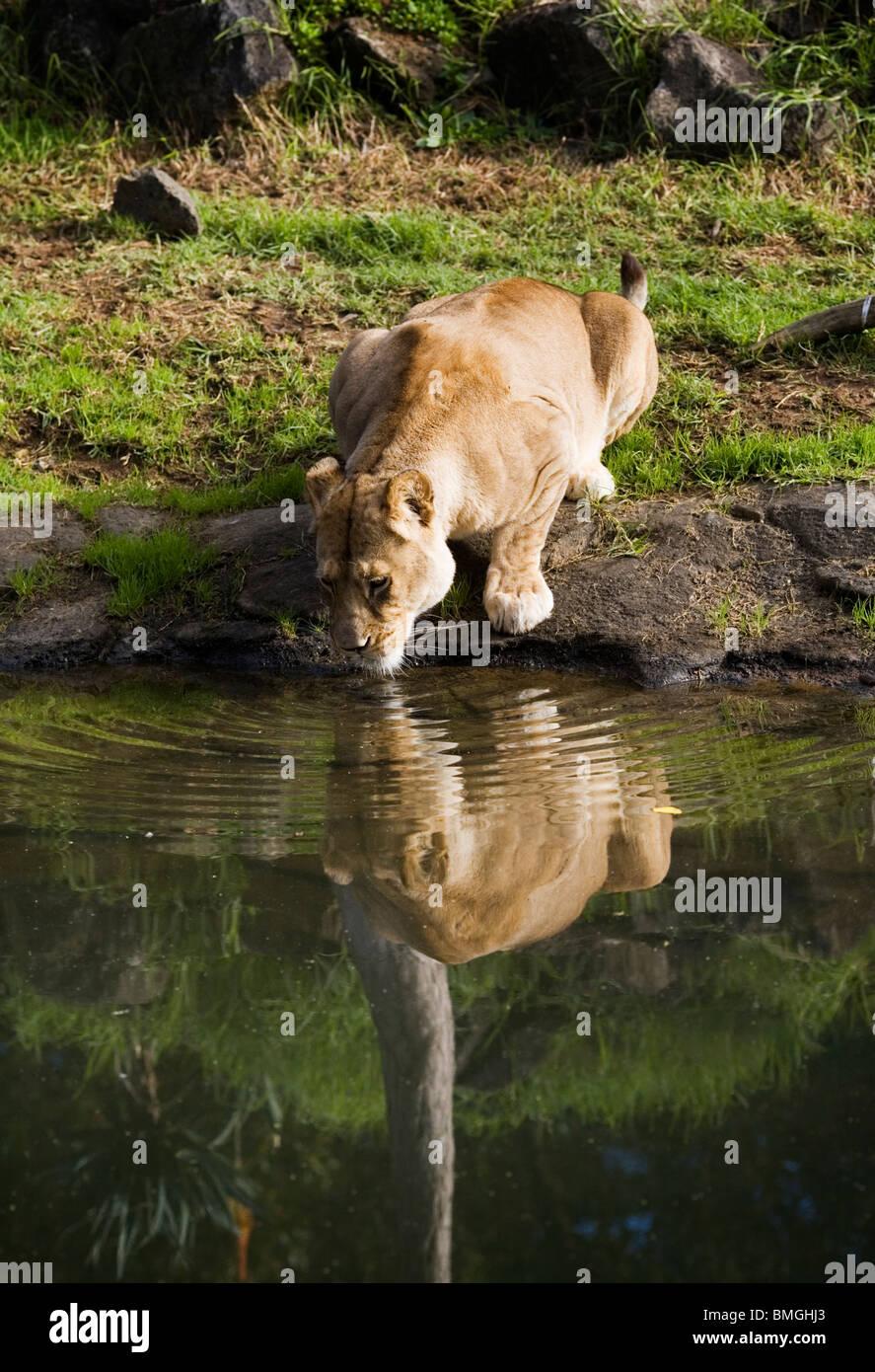 lion stream deutsch