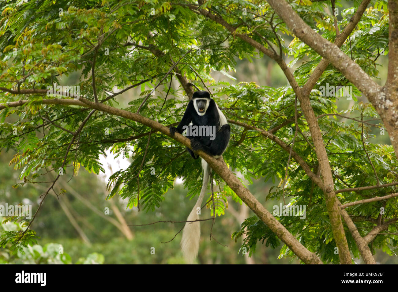 Natural Habitat Of Black And White Colobus