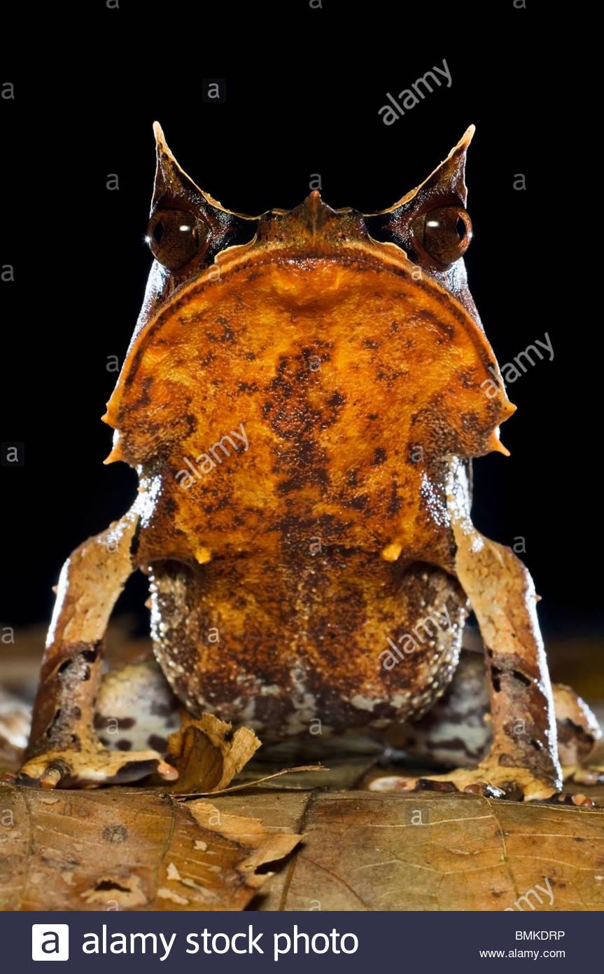Portrait of Bornean Horned Frog amongst leaf-litter in forest floor, taken at night. Danum Valley, Sabah, Borneo. Stock Foto