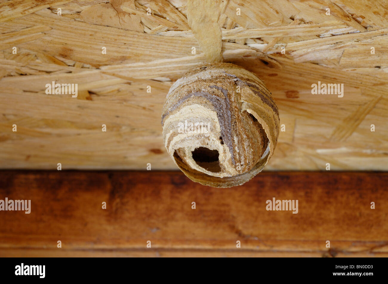 The Early Stages Of A Common Wasp Nest Hanging On The Roof