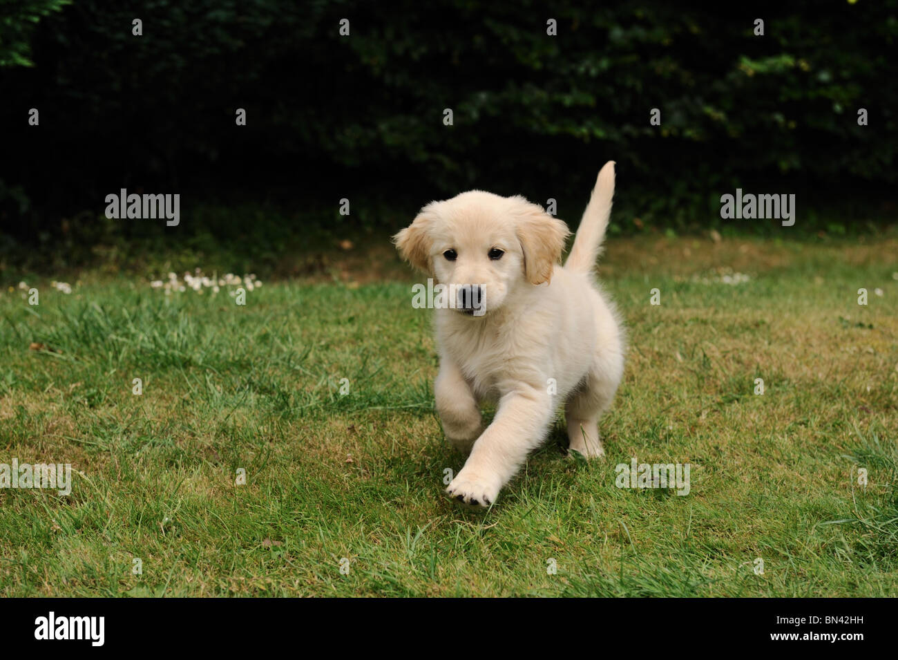 eight-week-old-golden-retriever-puppy-in