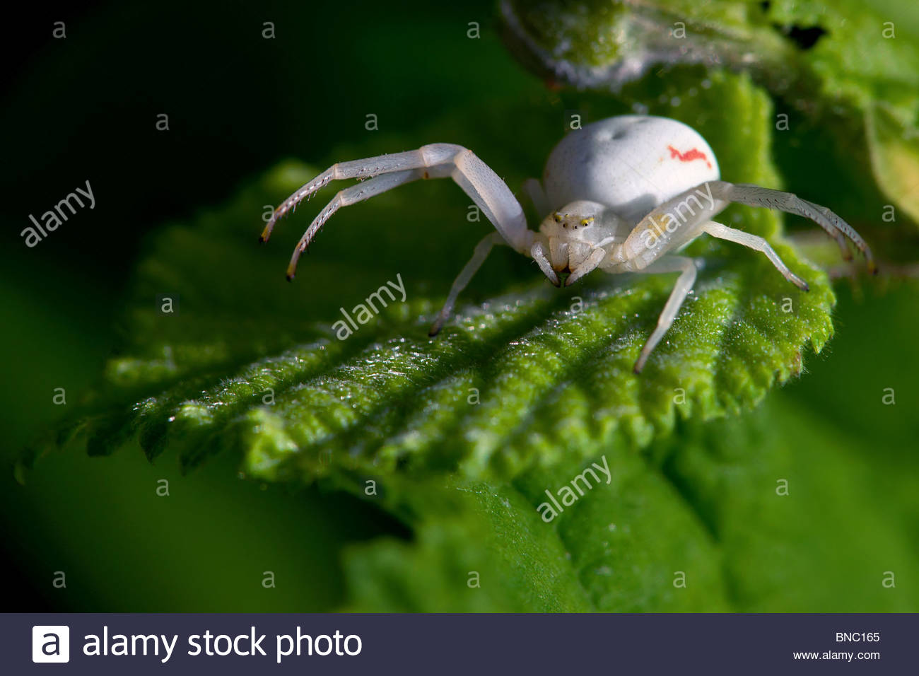 goldenrod-crab-spider-white-female-misum