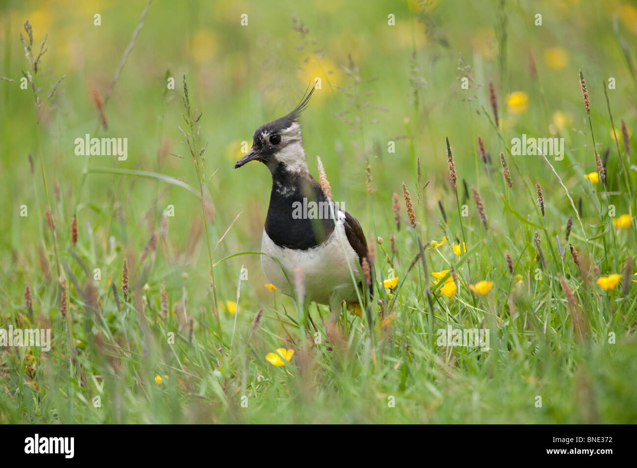 Lapwing in a field of buttercups. Stock Photo