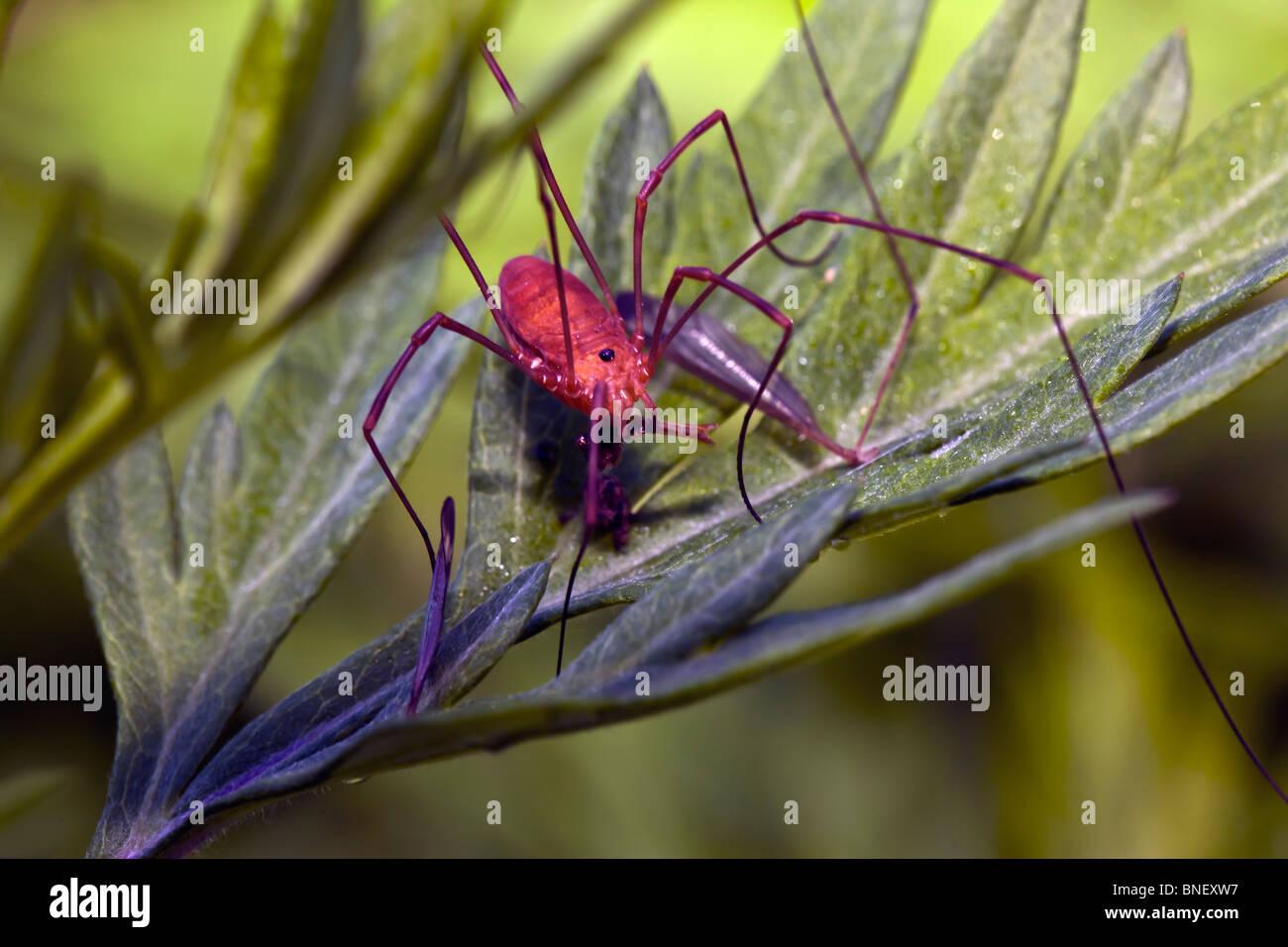 daddy long legs spider feeding  mayflies  spring 1300 x 956 · jpeg