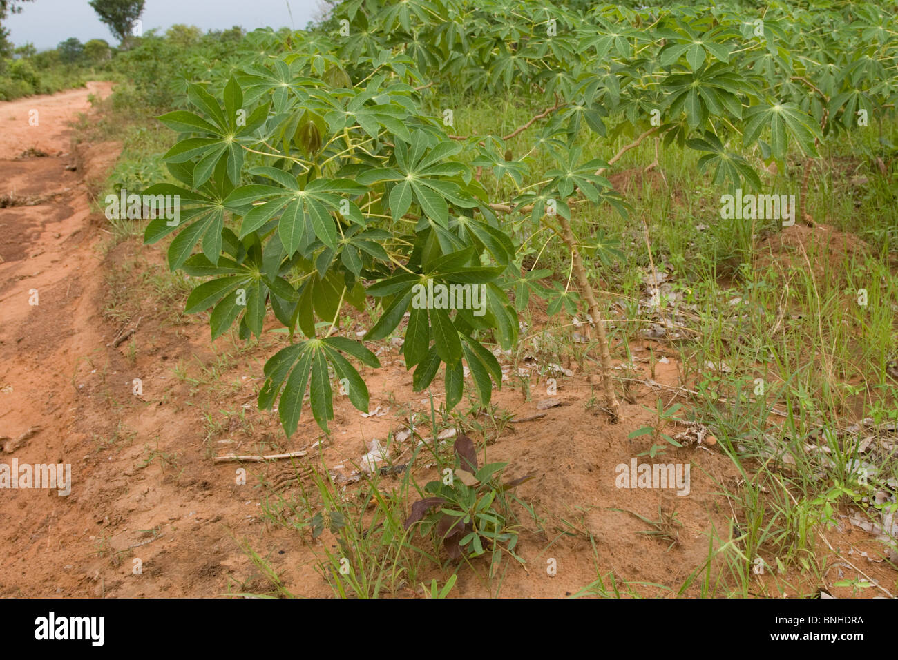 Cassava plants cultivated in the Gonja triangle, Ghana. Stock Photo