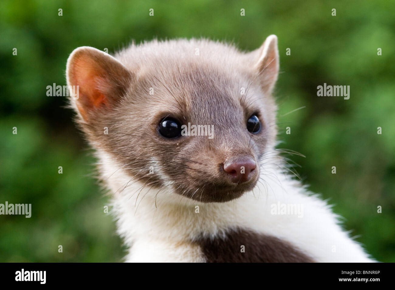 stone marten marten martes foina young animal fairy young new stock photo royalty free image. Black Bedroom Furniture Sets. Home Design Ideas