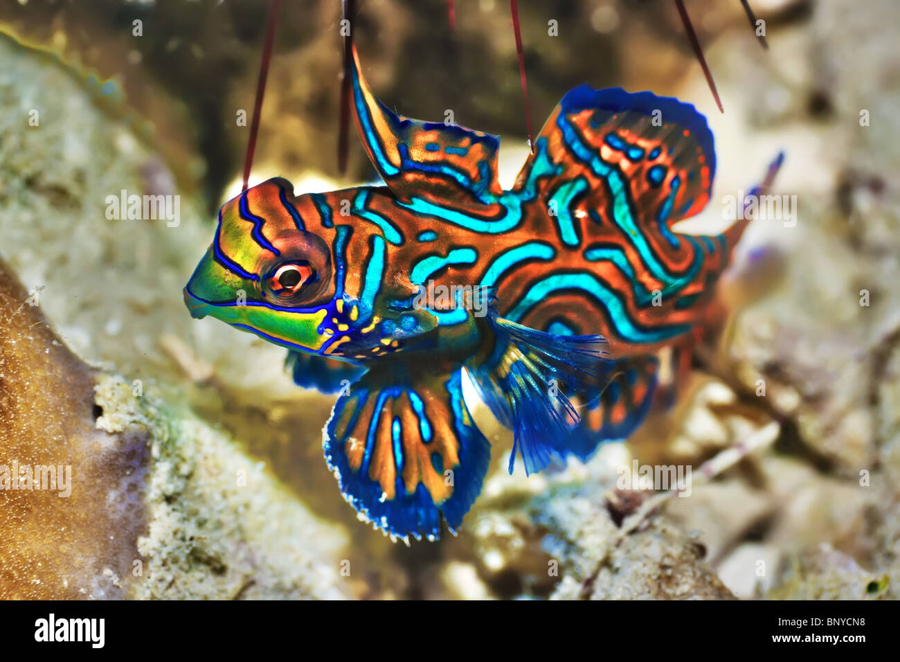 Small tropical fish mandarinfish close up sipadan for Small tropical fish