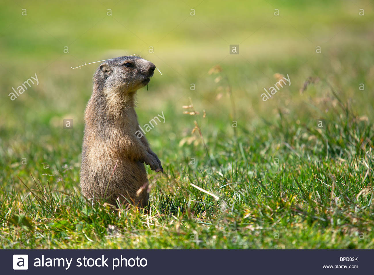 alpine-marmot-marmota-marmota-standing-w