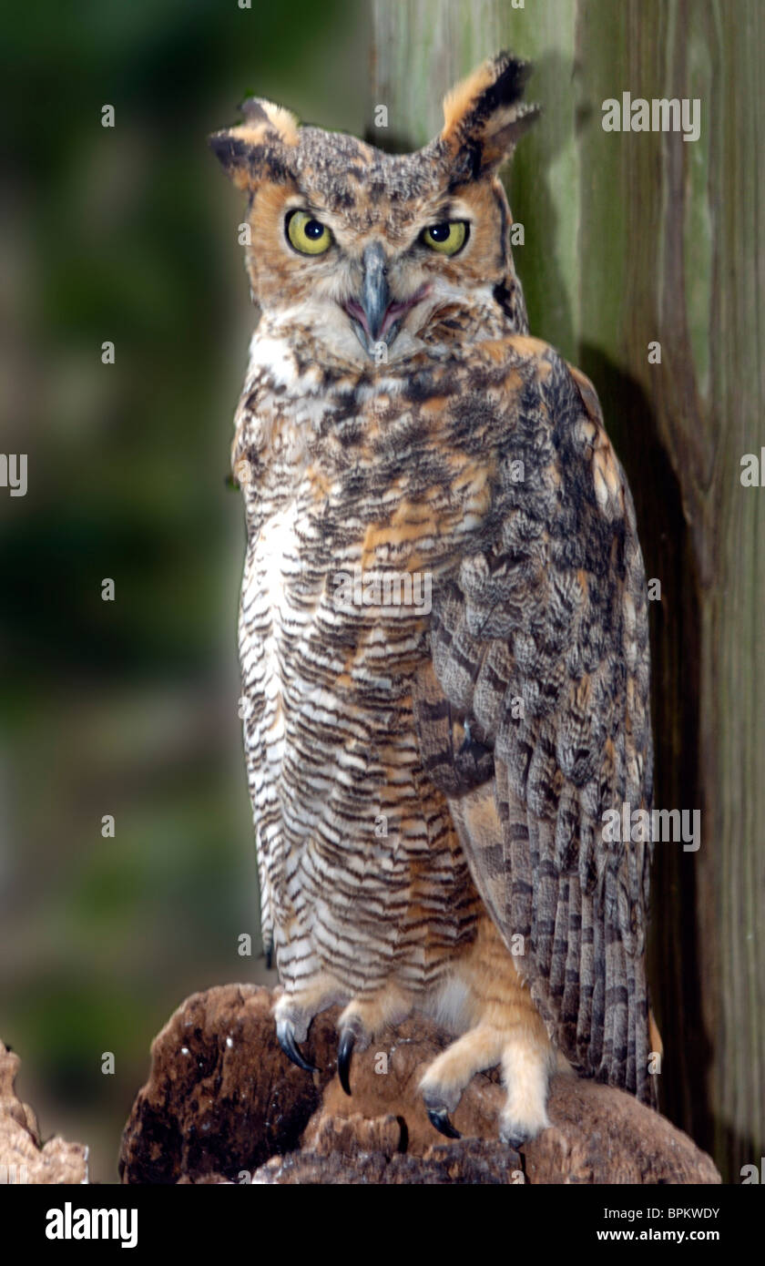 Great Horned Owl, Flor...