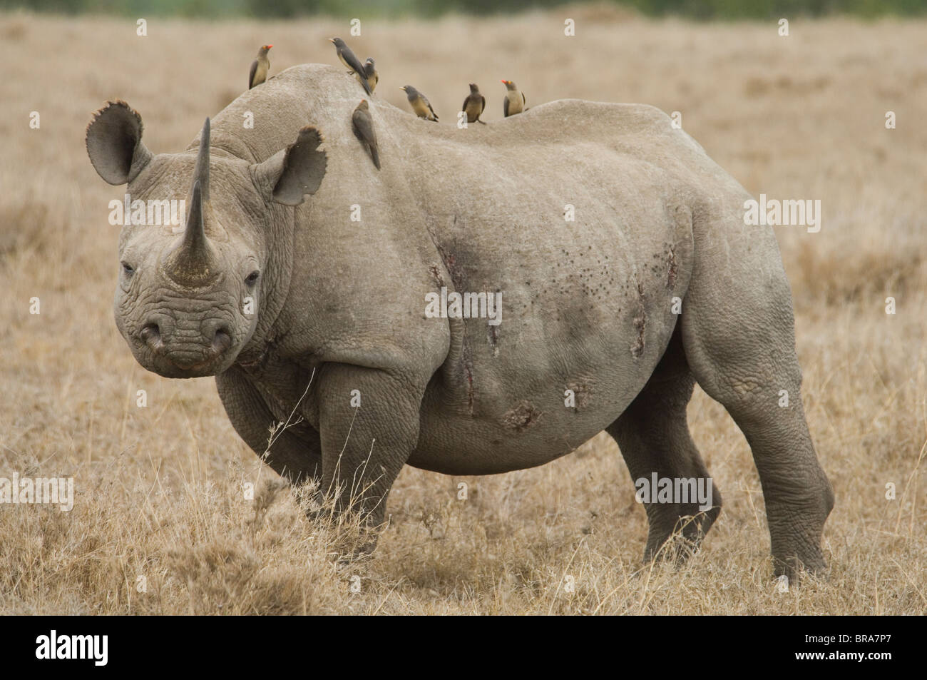 oxpeckers and rhinos relationship memes