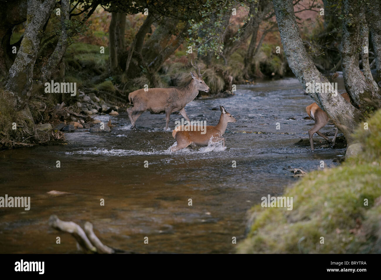 red-deer-cervus-elaphus-crossing-a-strea