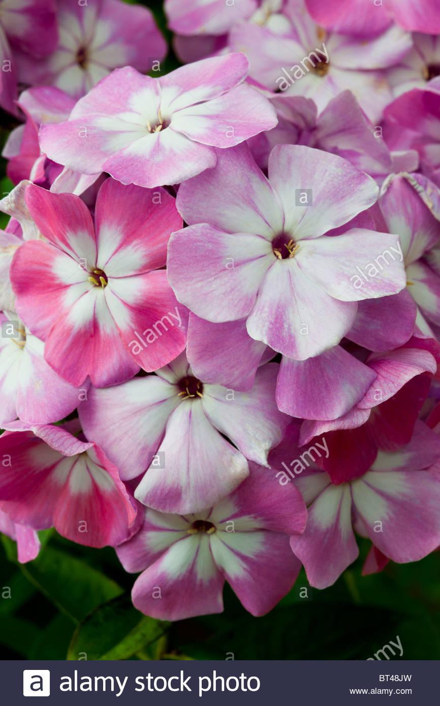 Fall Phlox Paniculata Pink Eye Flame Late Summer Flower