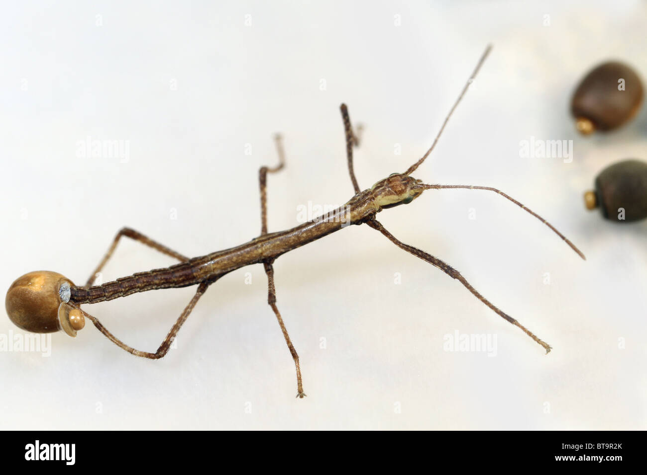 walking stick insect almost hatched the newborn insect is