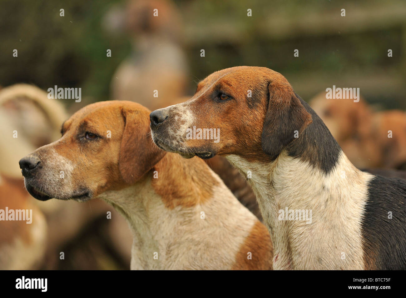 pack-of-english-foxhounds-BTC75F.jpg