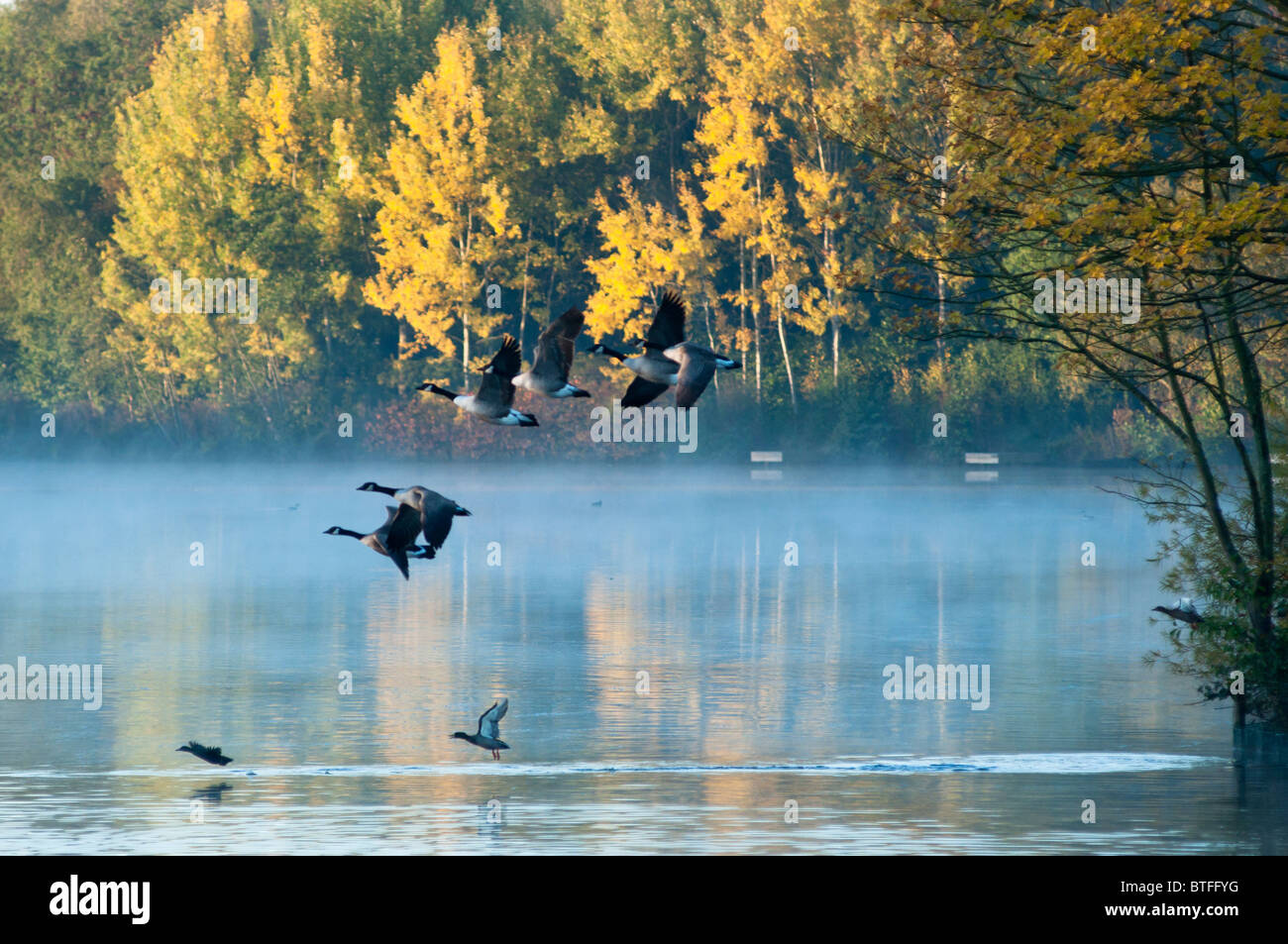 canada-geese-fly-over-a-misty-scenic-lak