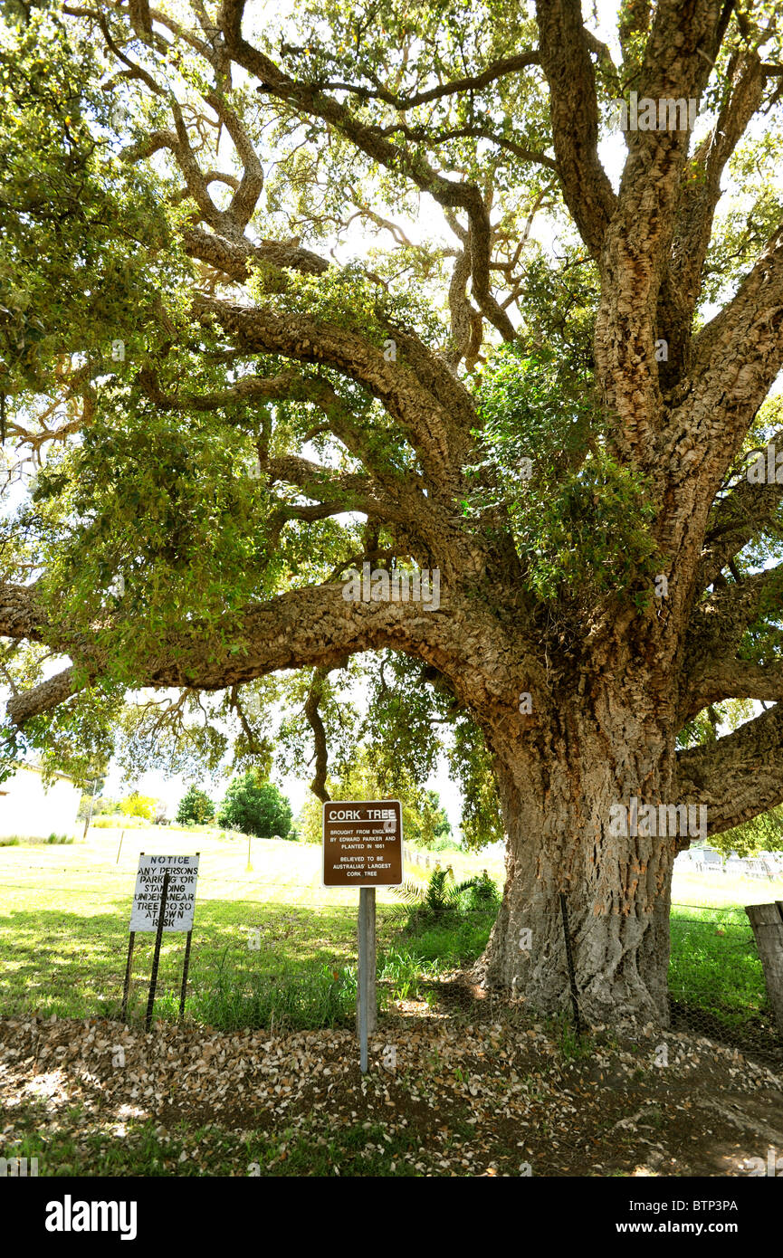 Tenterfield Australia  city pictures gallery : Old Cork Tree Tenterfield Australia Stock Photo, Royalty Free Image ...