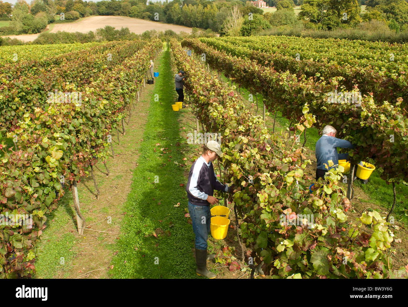 grape-harvest-at-chapel-down-vineyards-t