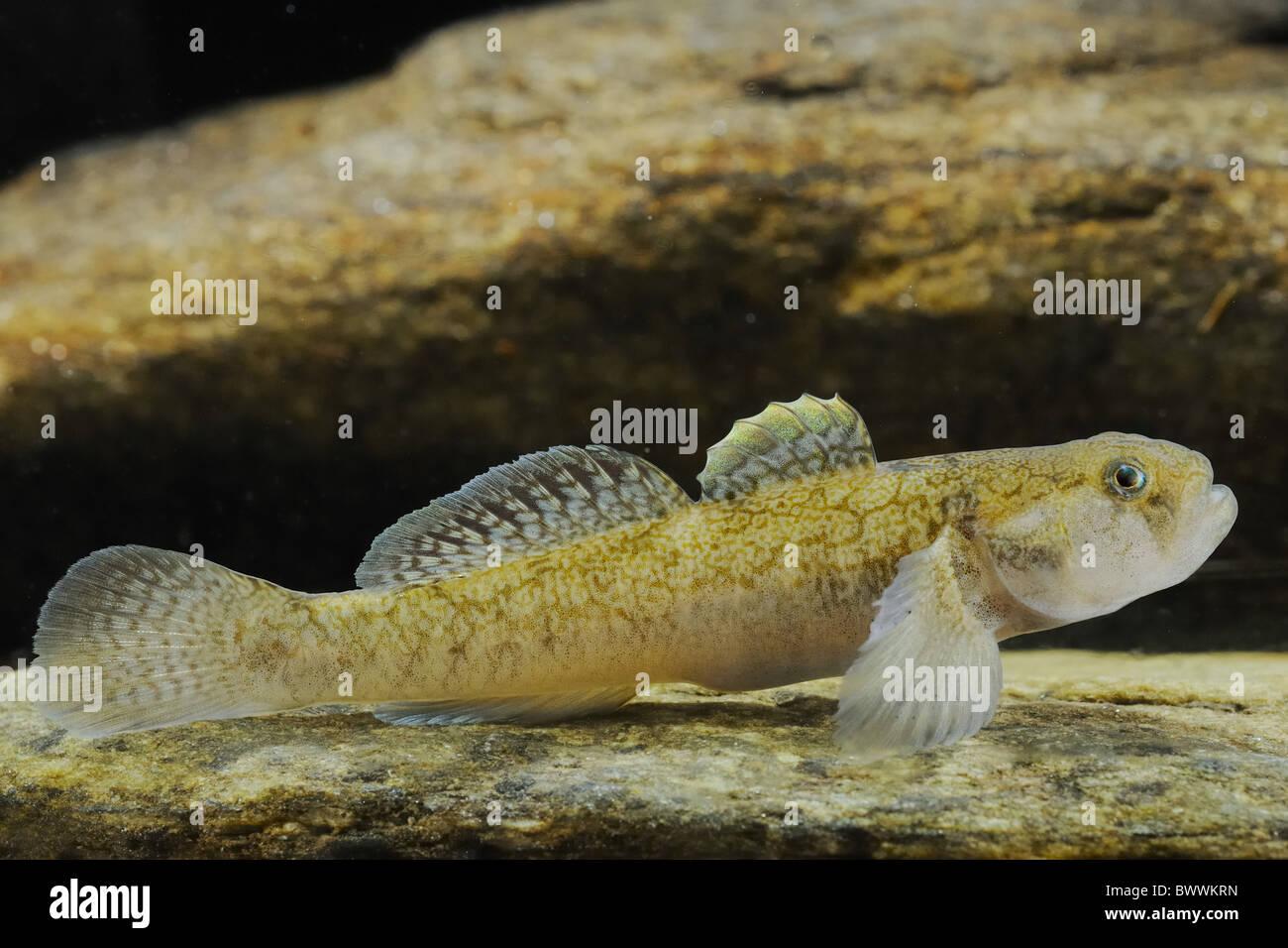 Padogobius bonelli freshwater fish animal animals fish for Freshwater goby fish