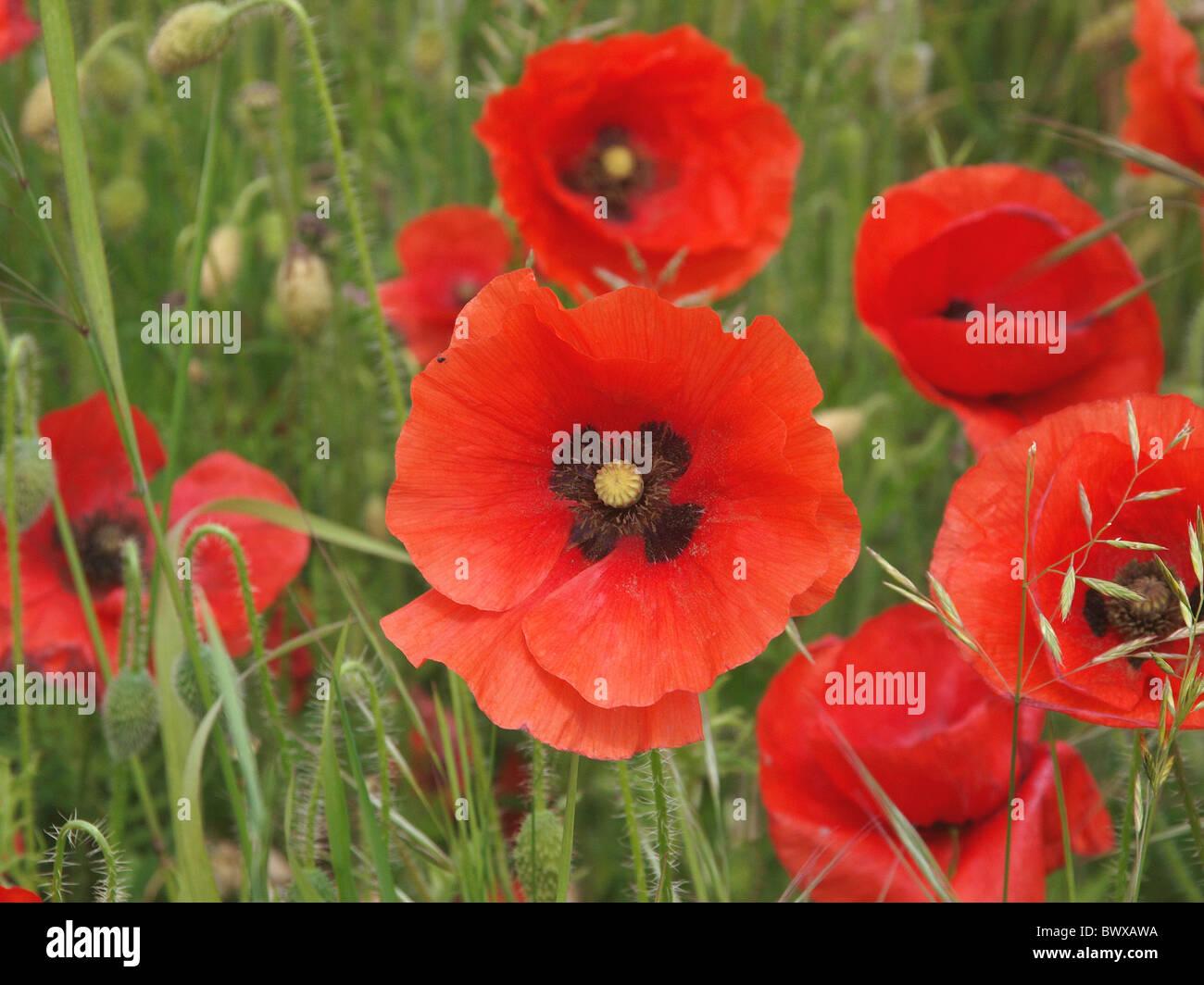 wild poppy flowers on - photo #4
