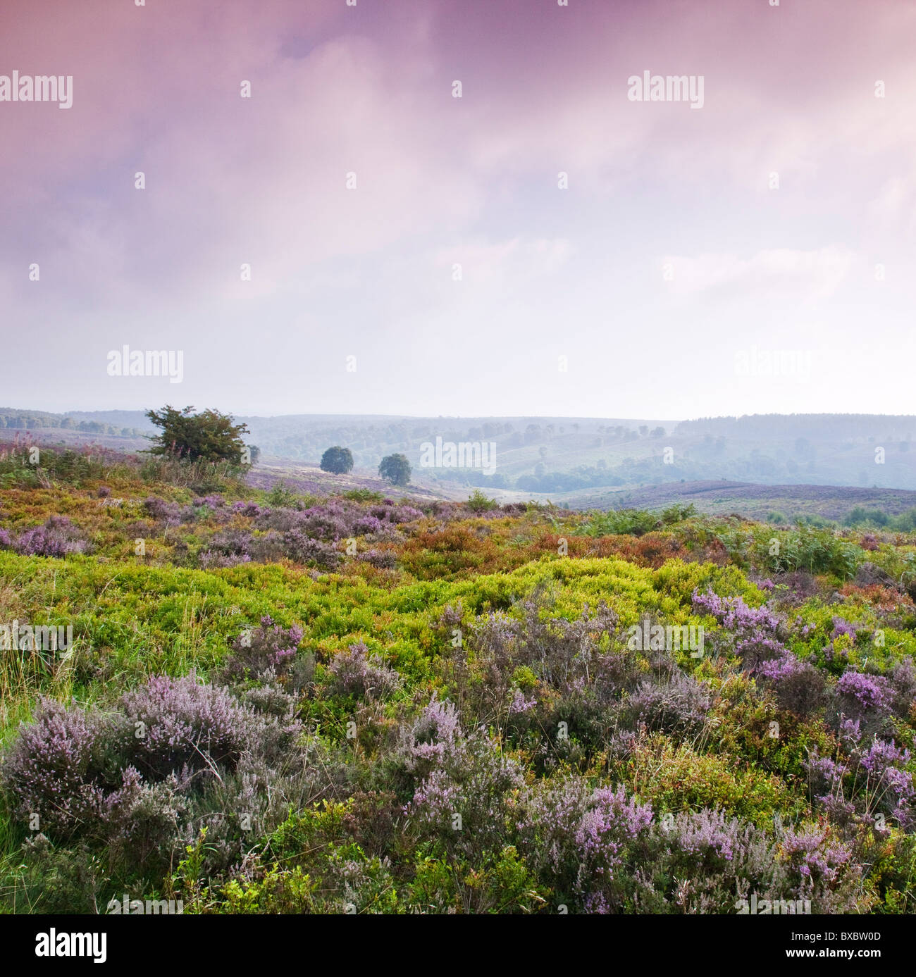 Heather Bilbury Heathland in late summer Cannock Chase Country Park AONB (area of outstanding natural beauty) Stock Foto