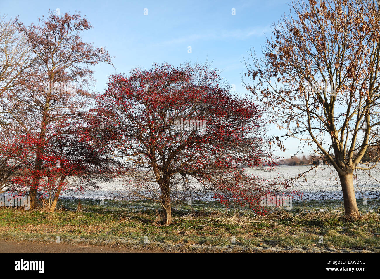 rowan-tree-in-berry-in-winter-BXWBNG.jpg